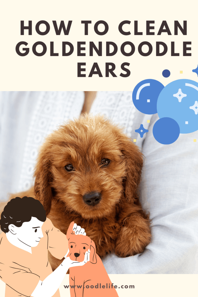 how to clean goldendoodle ears