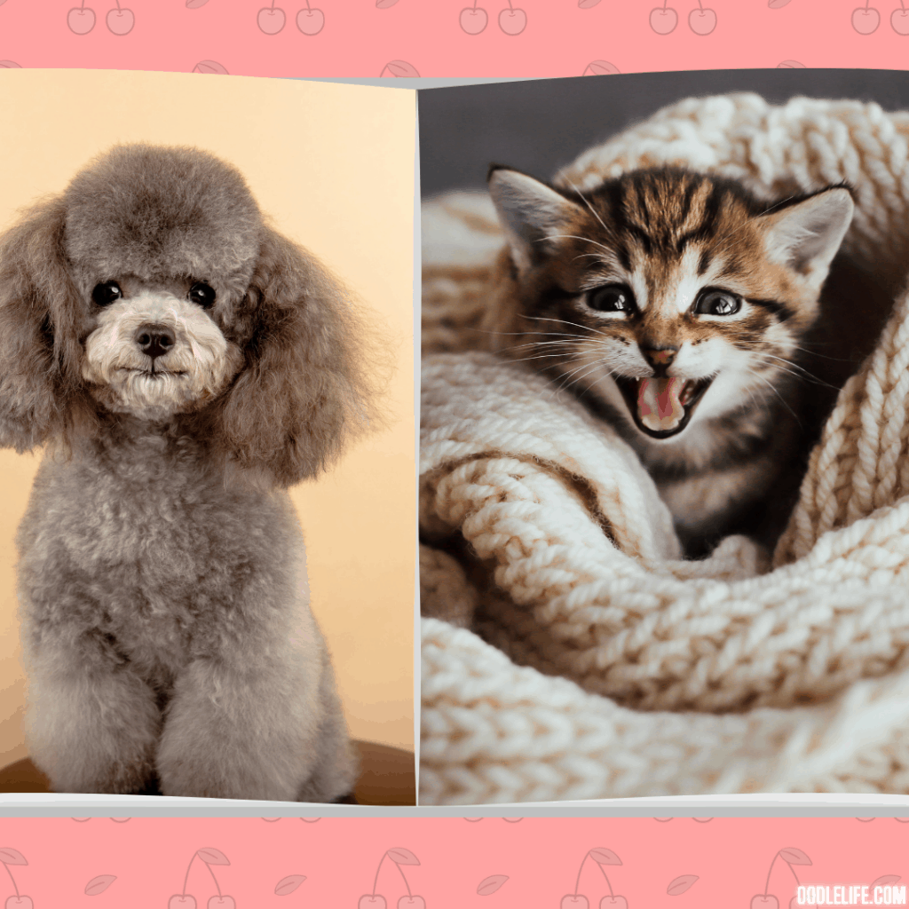 a poodle vs a cat - can they get along