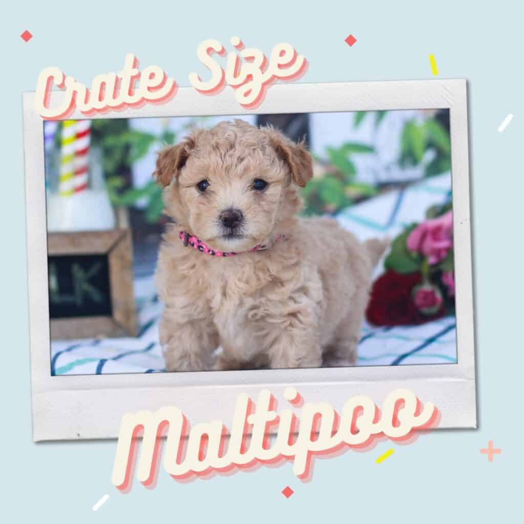 maltipoo crate size