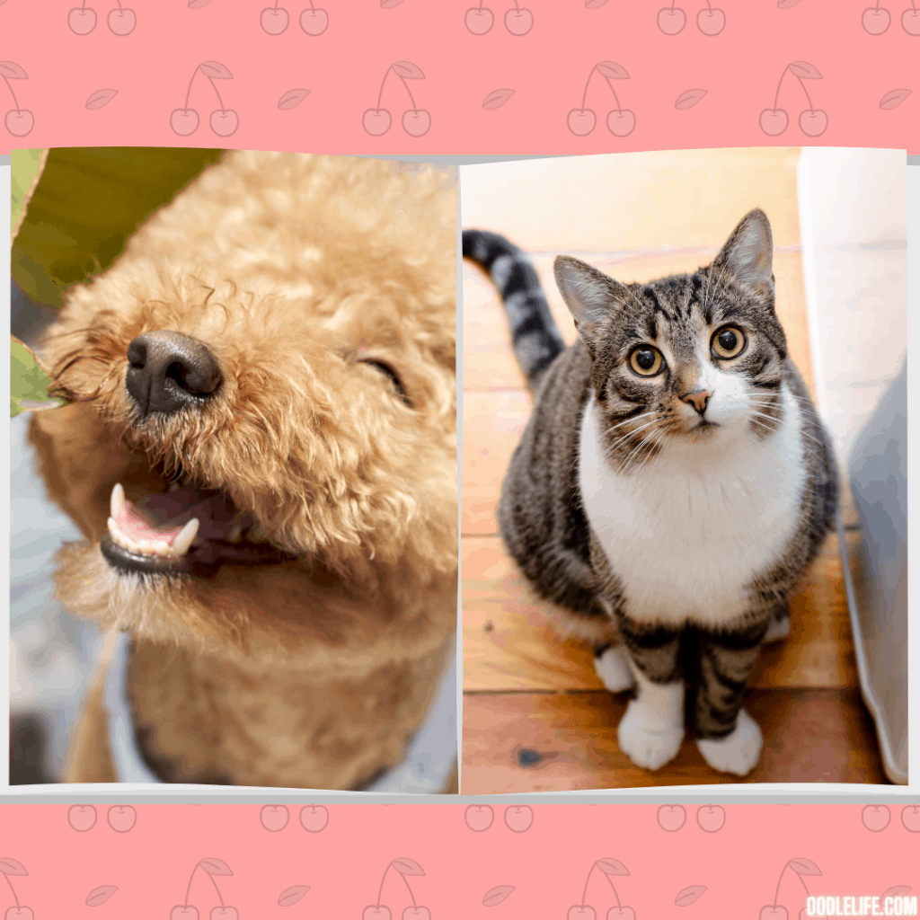 mini poodle and cat