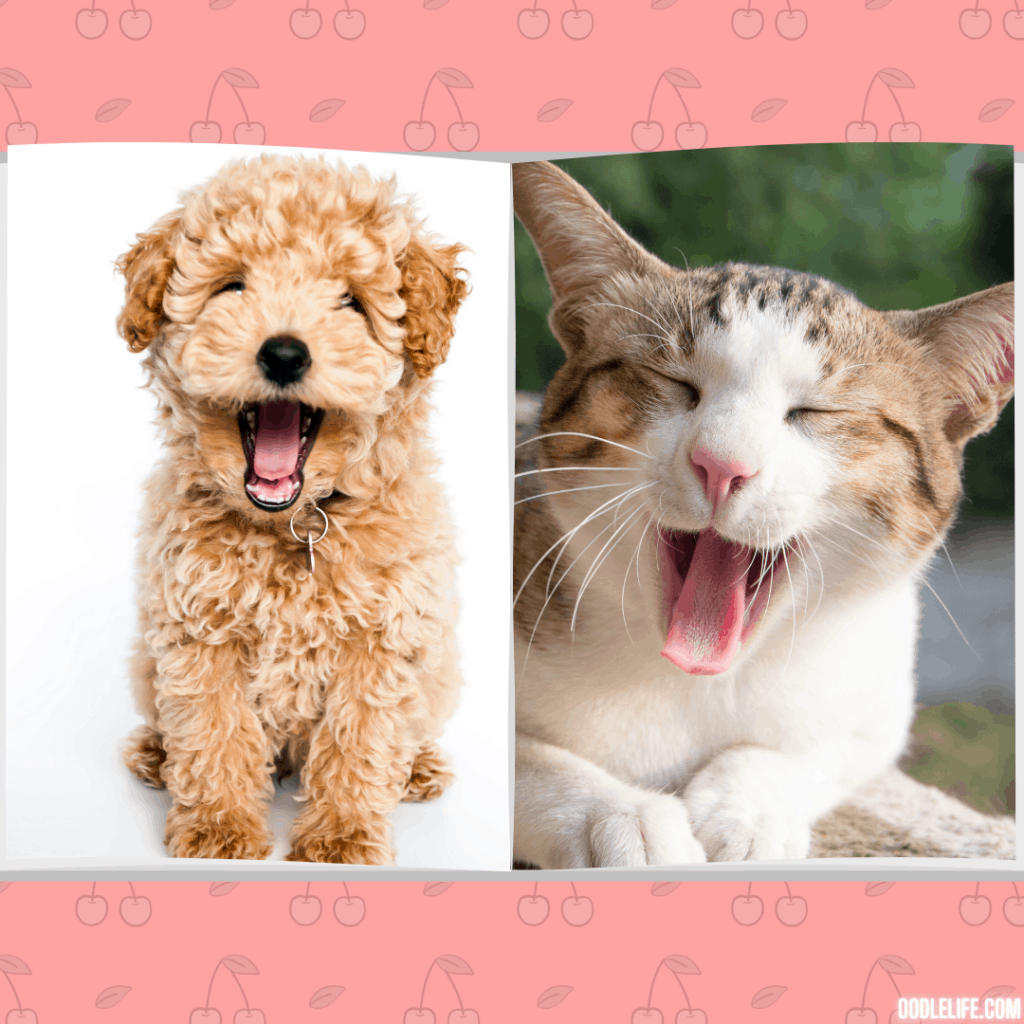 yawn! a poodle puppy and a cat both are tired