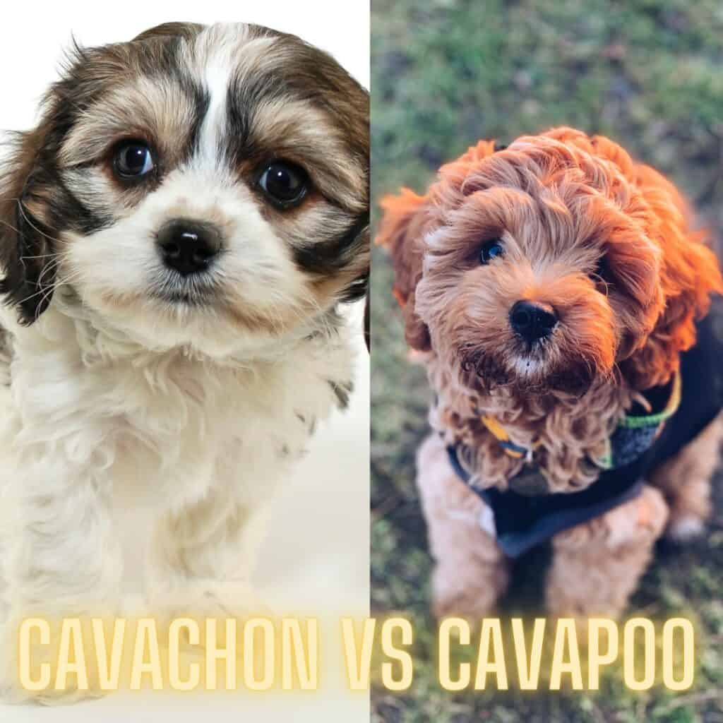 Cavachon and Cavapoo puppy photo comparison