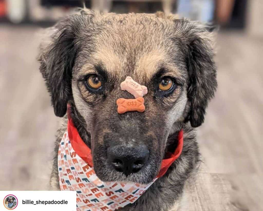 a shepadoodle puppy balances treats on its nose