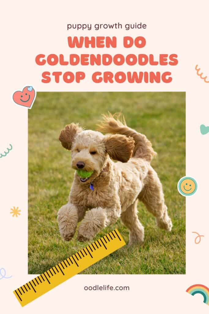 when do goldendoodles stop growing