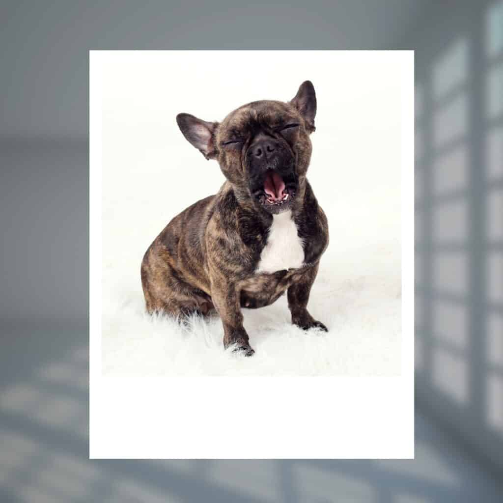 French bulldog hiccup