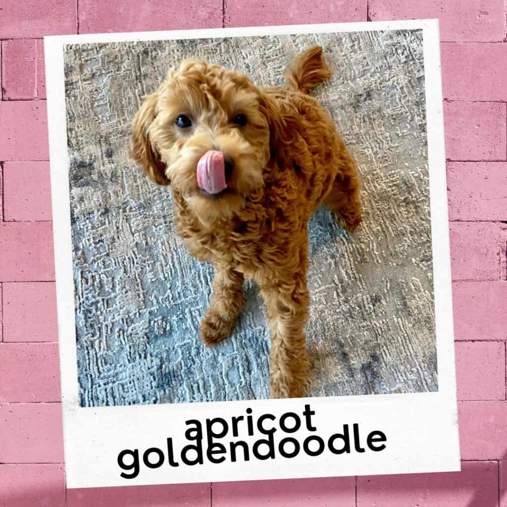 cute apricot Goldendoodle puppy tongue out
