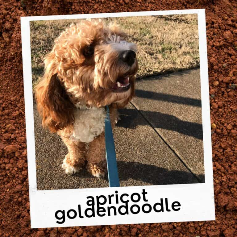 How Much Exercise Do Goldendoodles Need? [Guide]