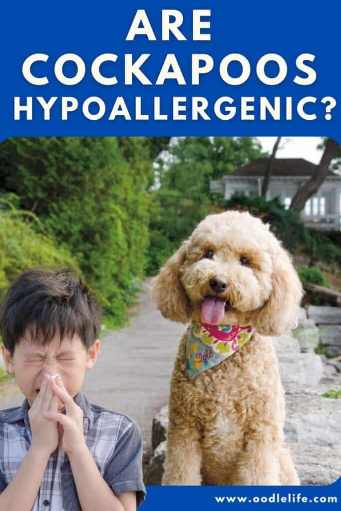 are cockapoos hypoallergenic an allergic child sneezes