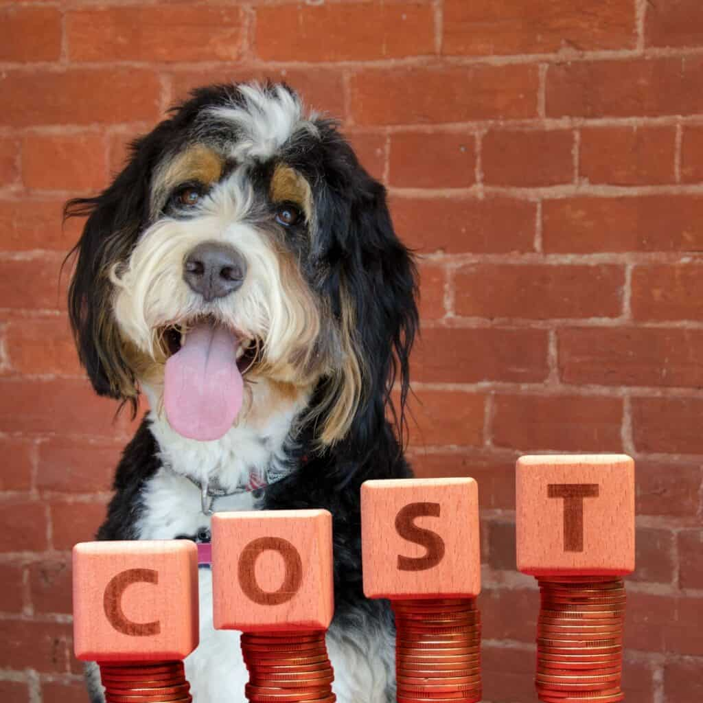 bernedoodle costs