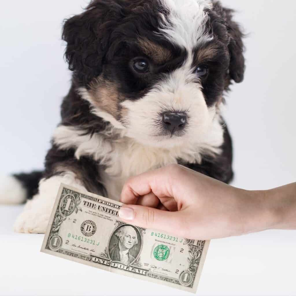 how much a bernedoodle puppy costs