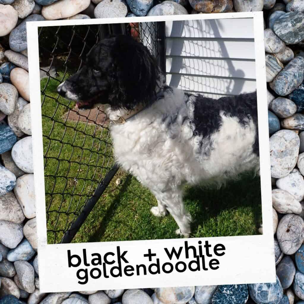 black and white goldendoodle dog