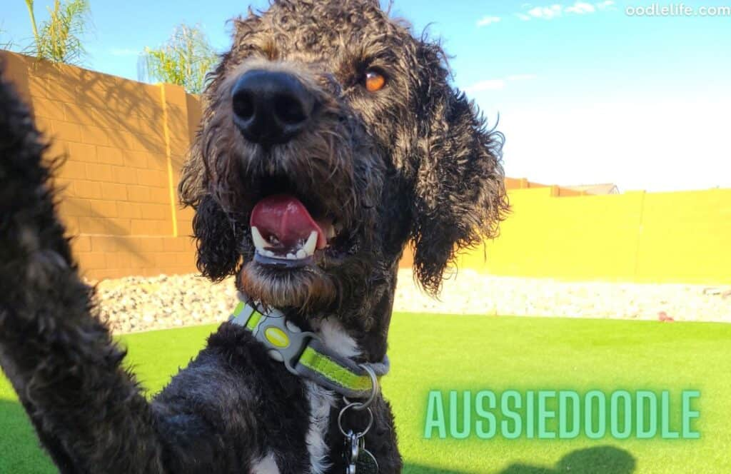 black aussiedoodle dog on the  grass