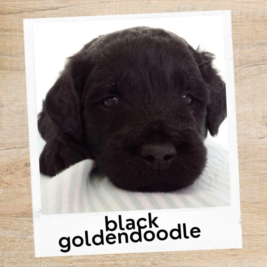 black Goldendoodle coat