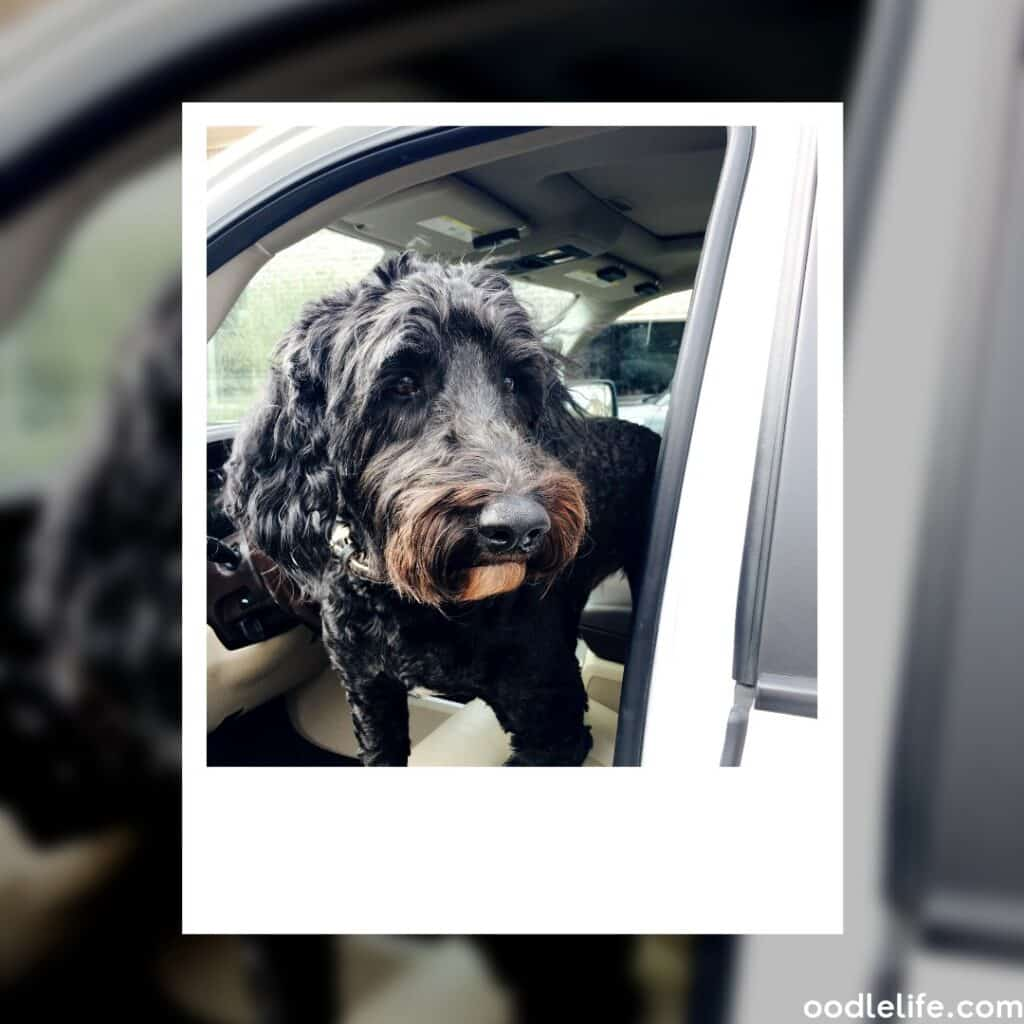 black labradoodle with brown nose