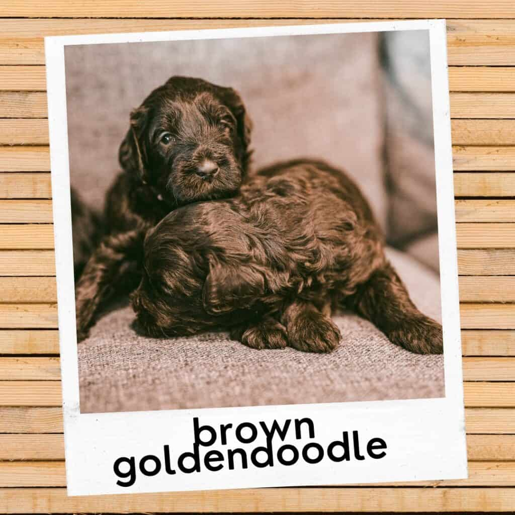 brown or chocolate goldendoodle puppies