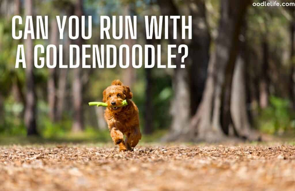 can a goldendoodle run - a goldemndoodle running in a park with a stick