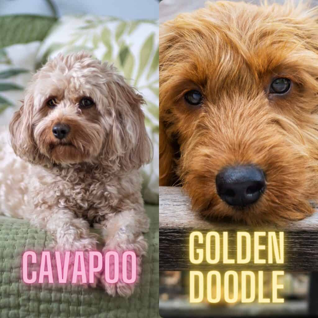 comparing looks of cavapoo and golden doodle