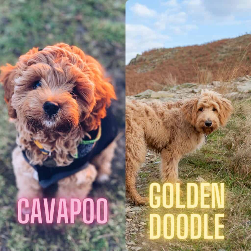 the cavapoo and goldendoodle size compared