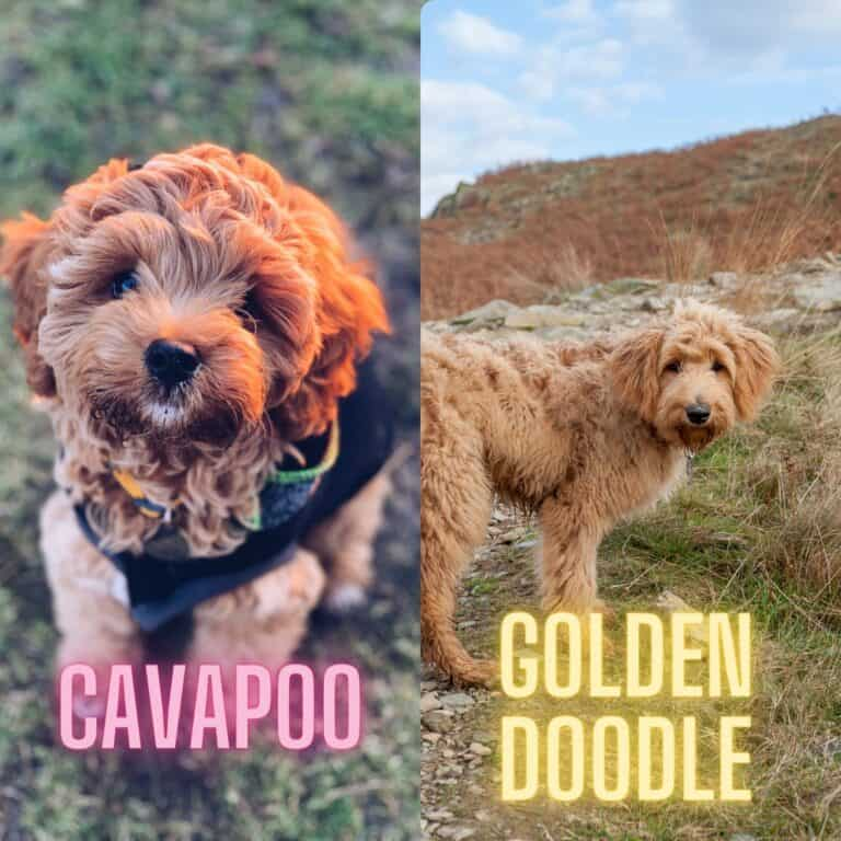 Cavapoo vs Goldendoodle Best Breed Comparison [with photos]