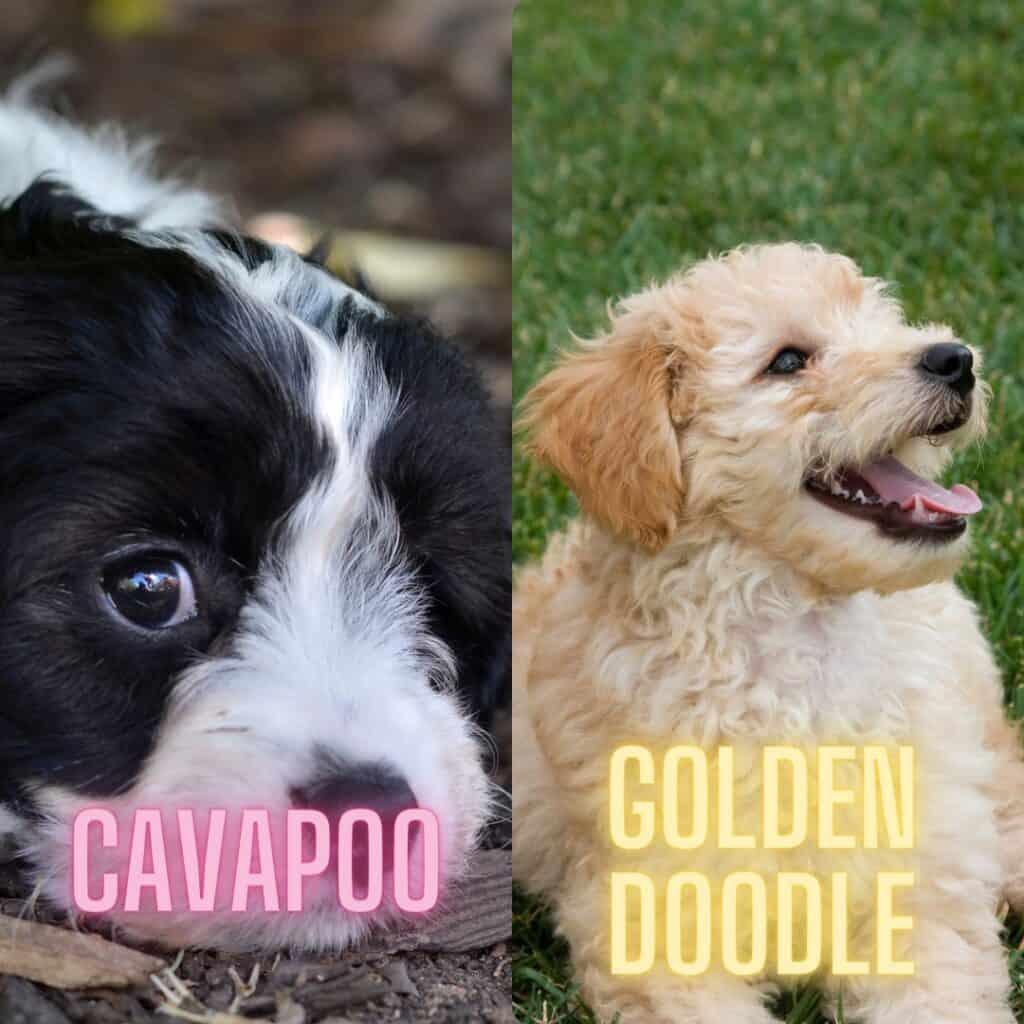 mini cavapoo vs mini goldendoodle