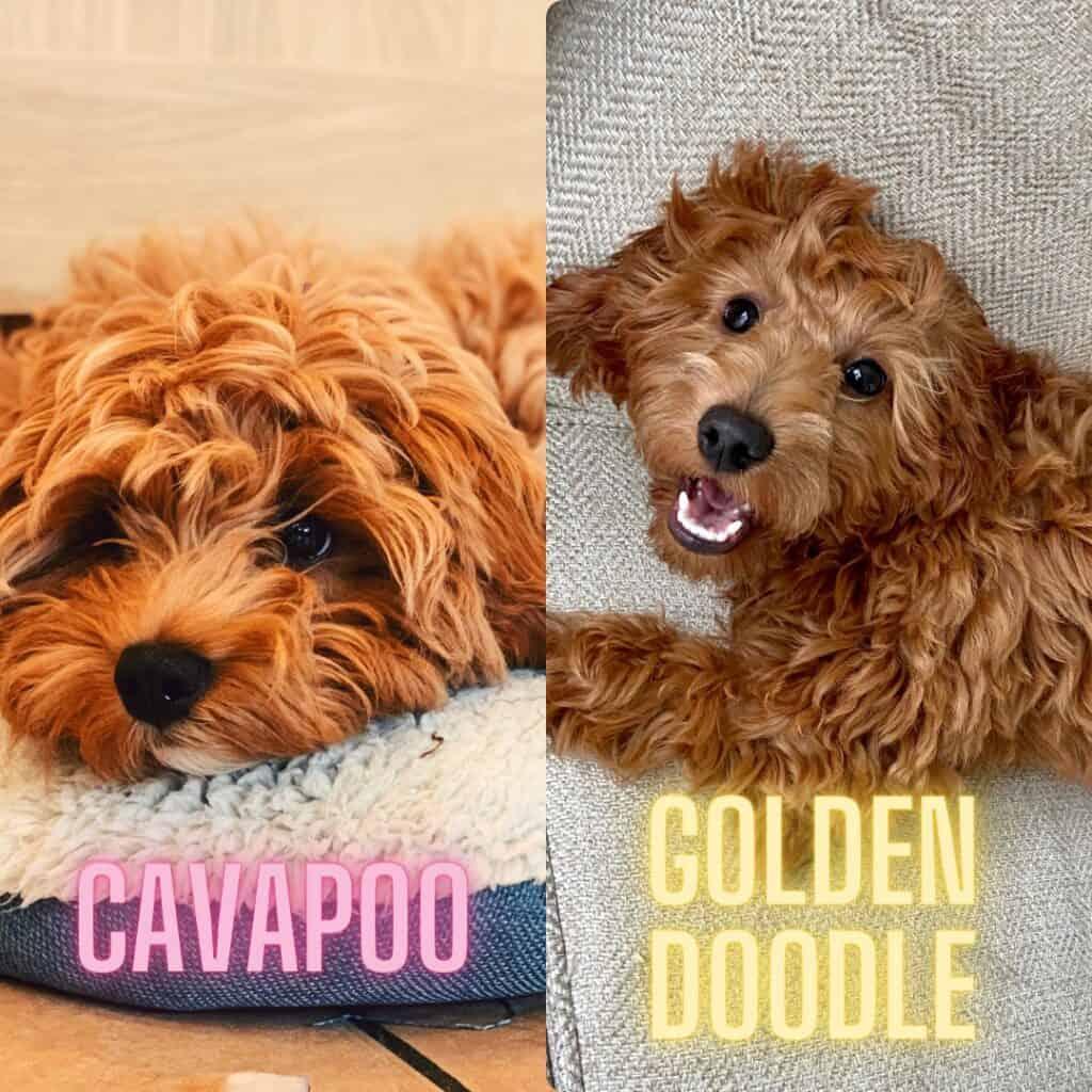 Cavapoo Image Gallery [21 Beautiful Cavapoo Puppy and Dog Photos] 1