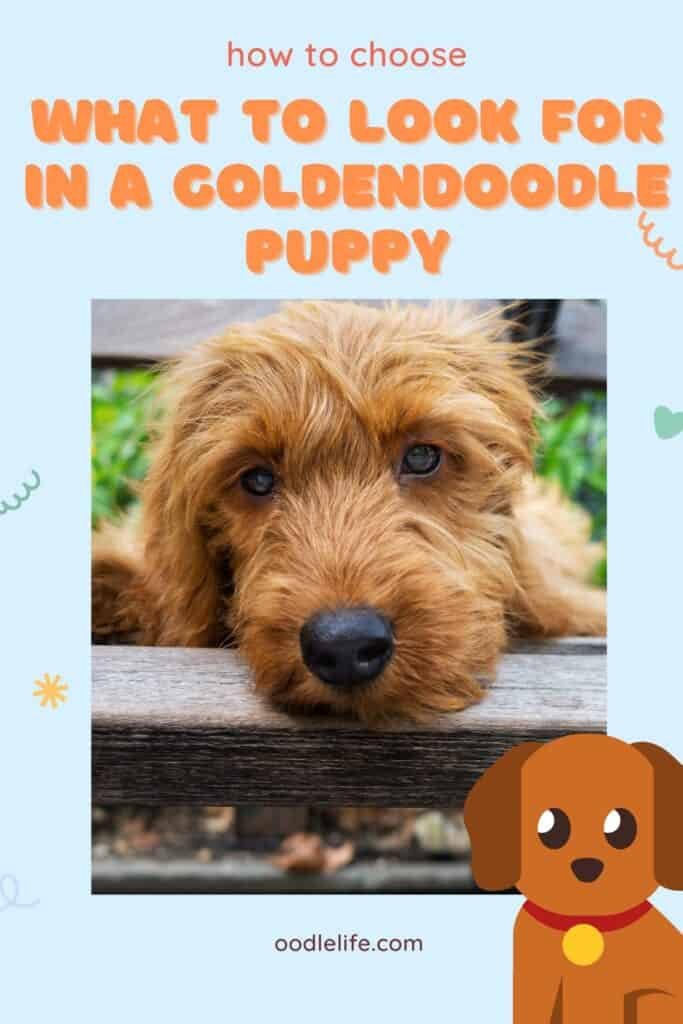 what to look for in a goldendoodle puppy