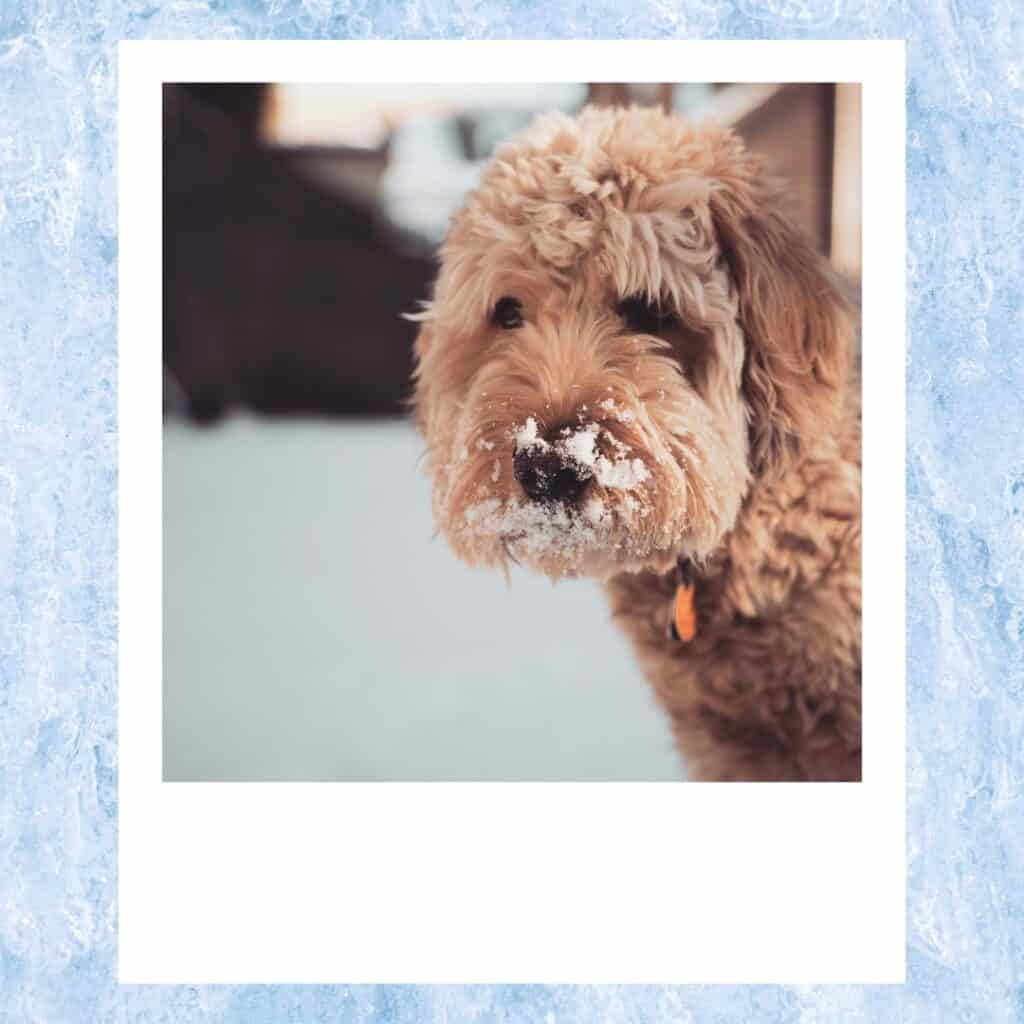 goldendoodles in the snow on nose