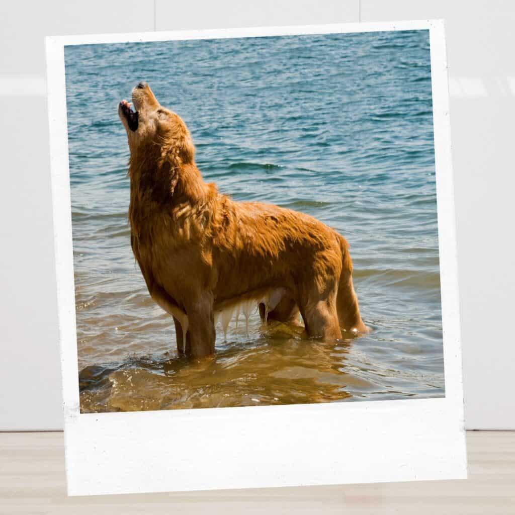 golden dog howl at beach