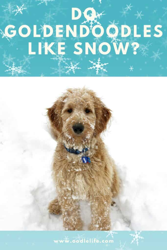 do goldendoodles like snow