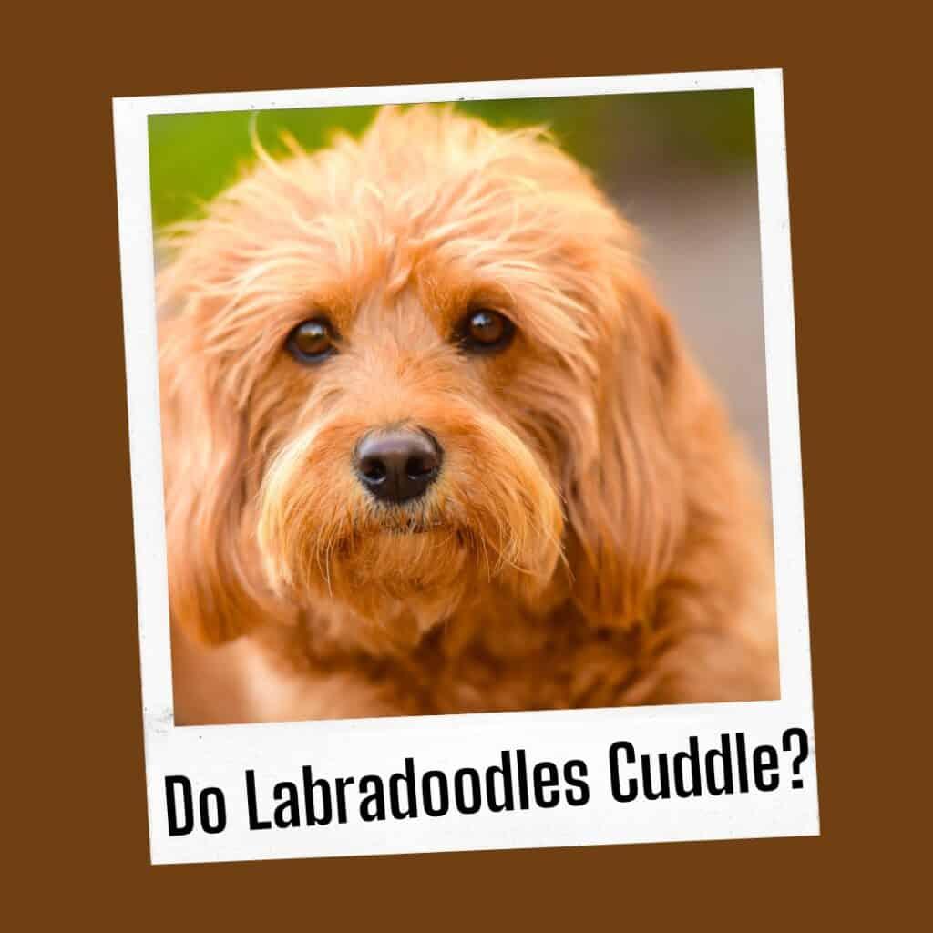 do labradoodles cuddle