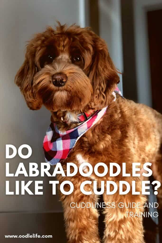 do labradoodles like to cuddle