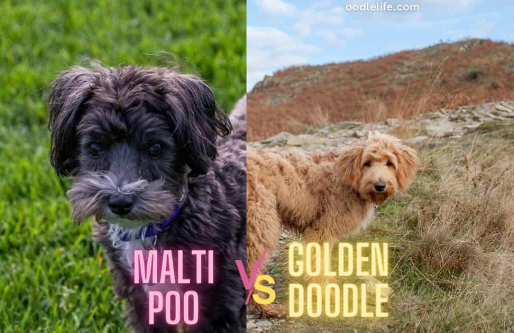 maltipoo vs goldendoodle outdoors