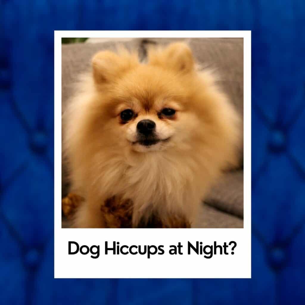 dog hiccups Pomeranian