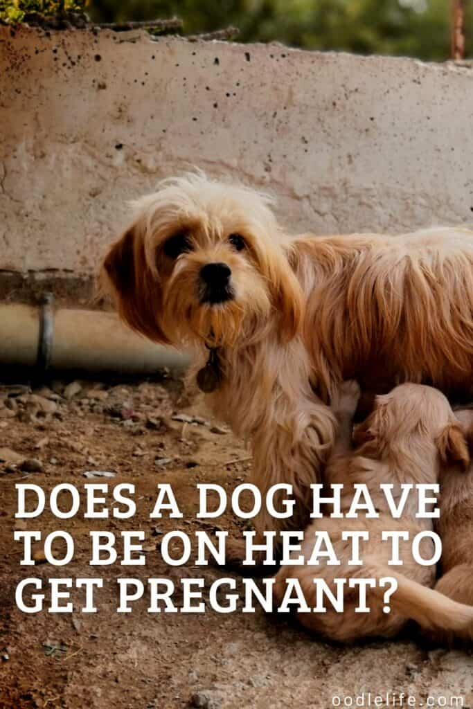 does a dog have to be on heat to get pregnant