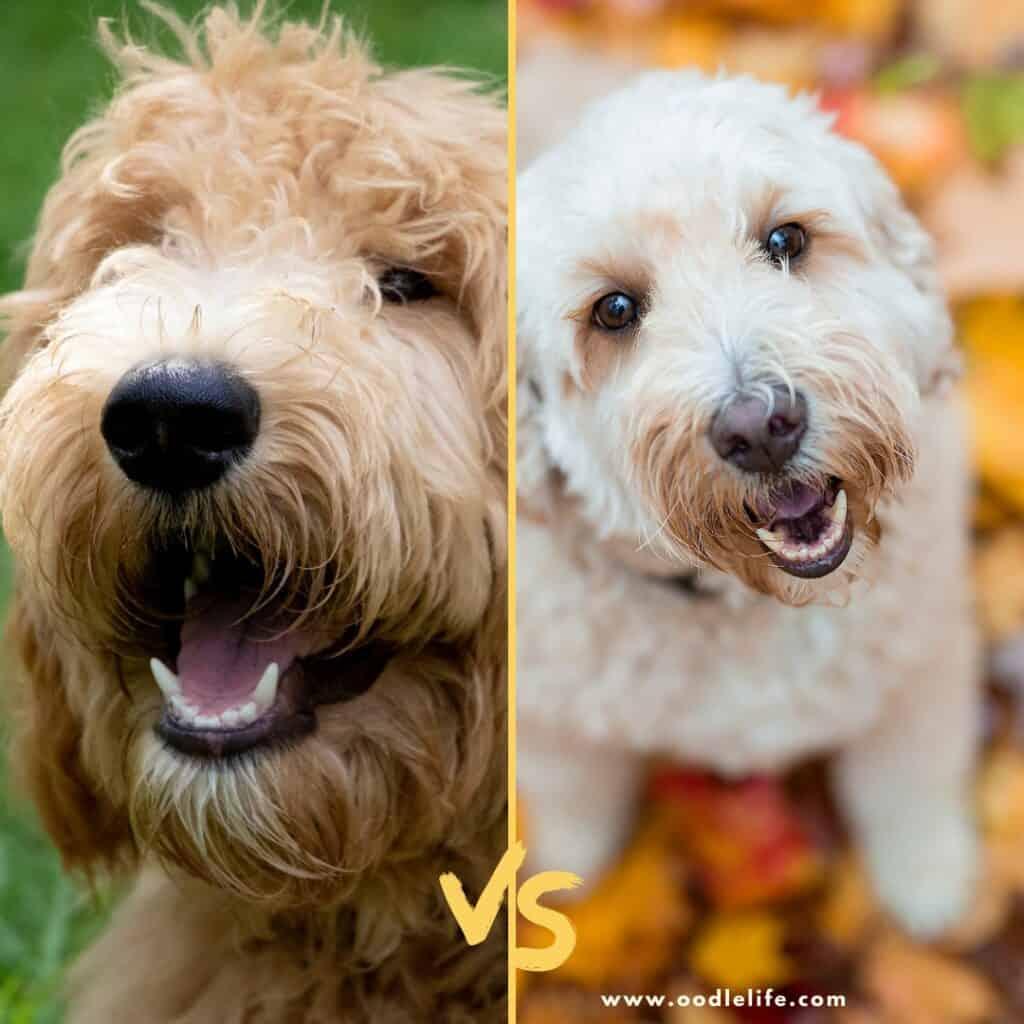 f1 vs f2 goldendoodle