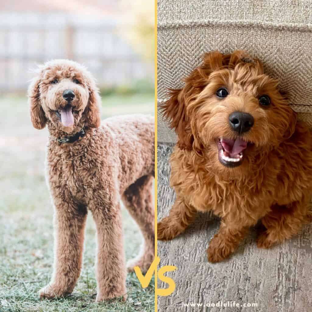 f1 vs f2 goldendoodle sizes photo