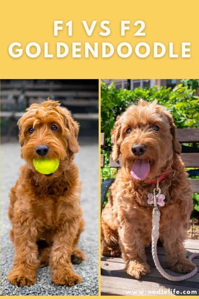 f1 vs f2 goldendoodle photo comparison