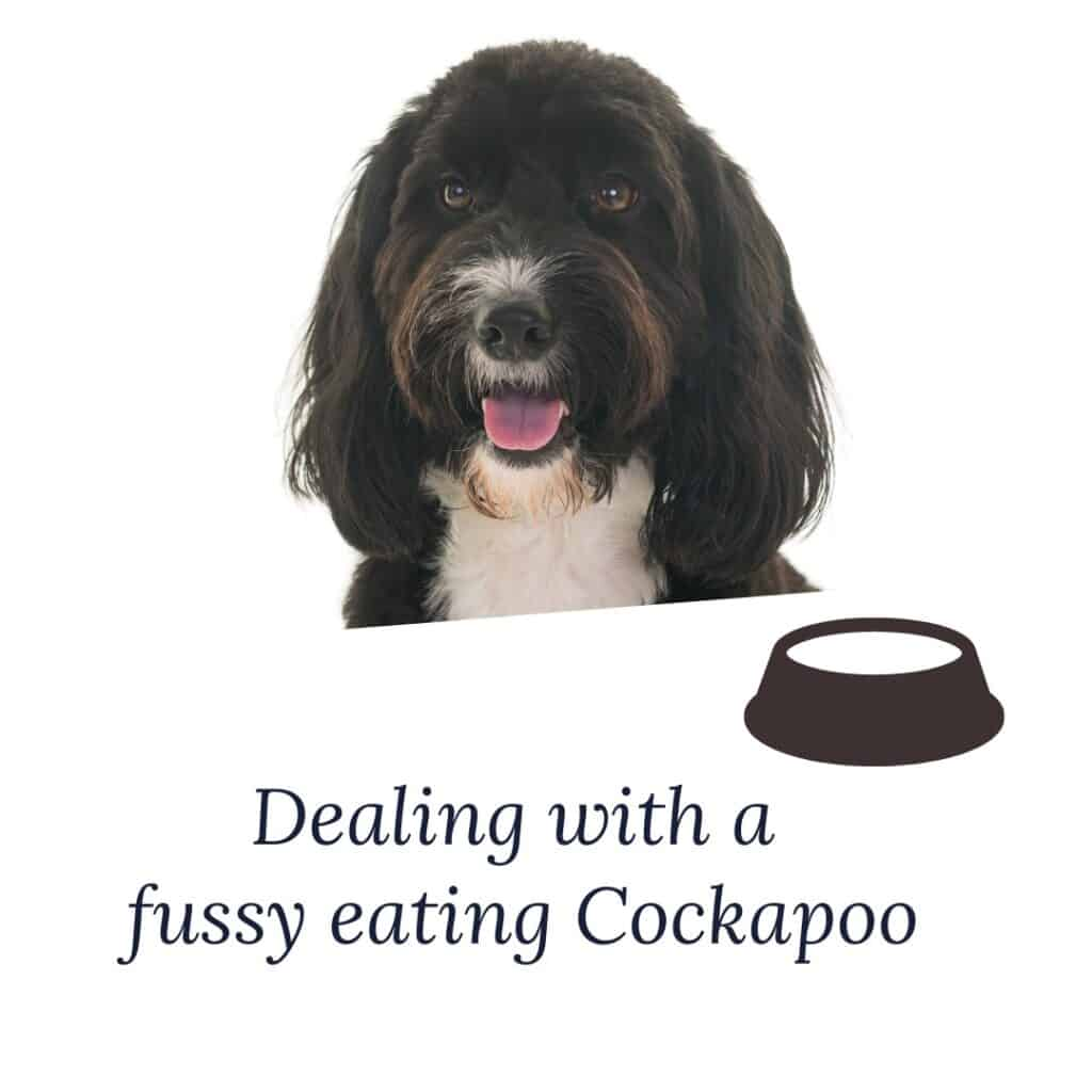 dealing with a fussy eater cockapoo
