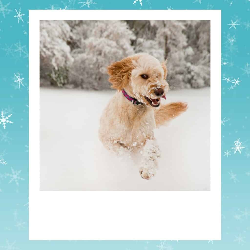 goldendoodle loving the snow
