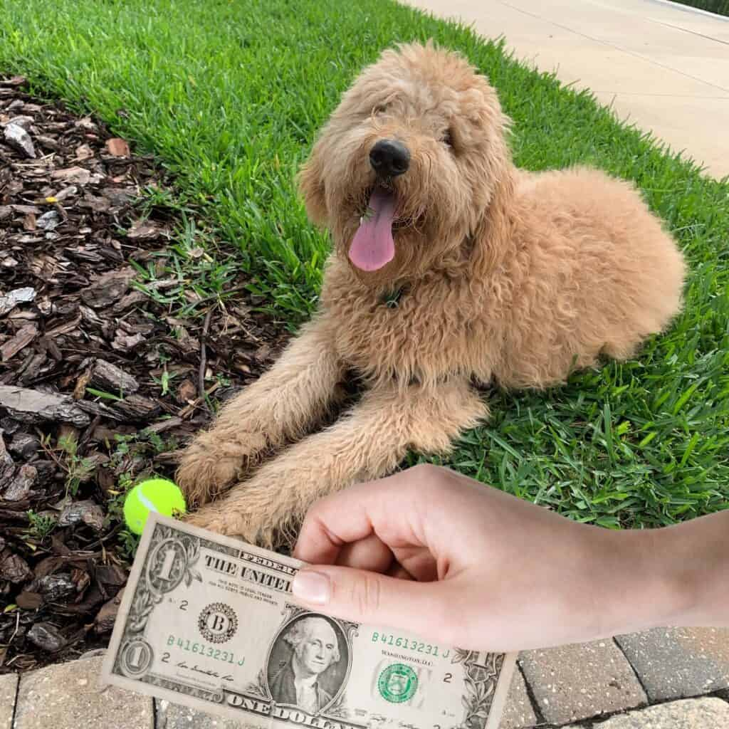 goldendoodle with cash in hand