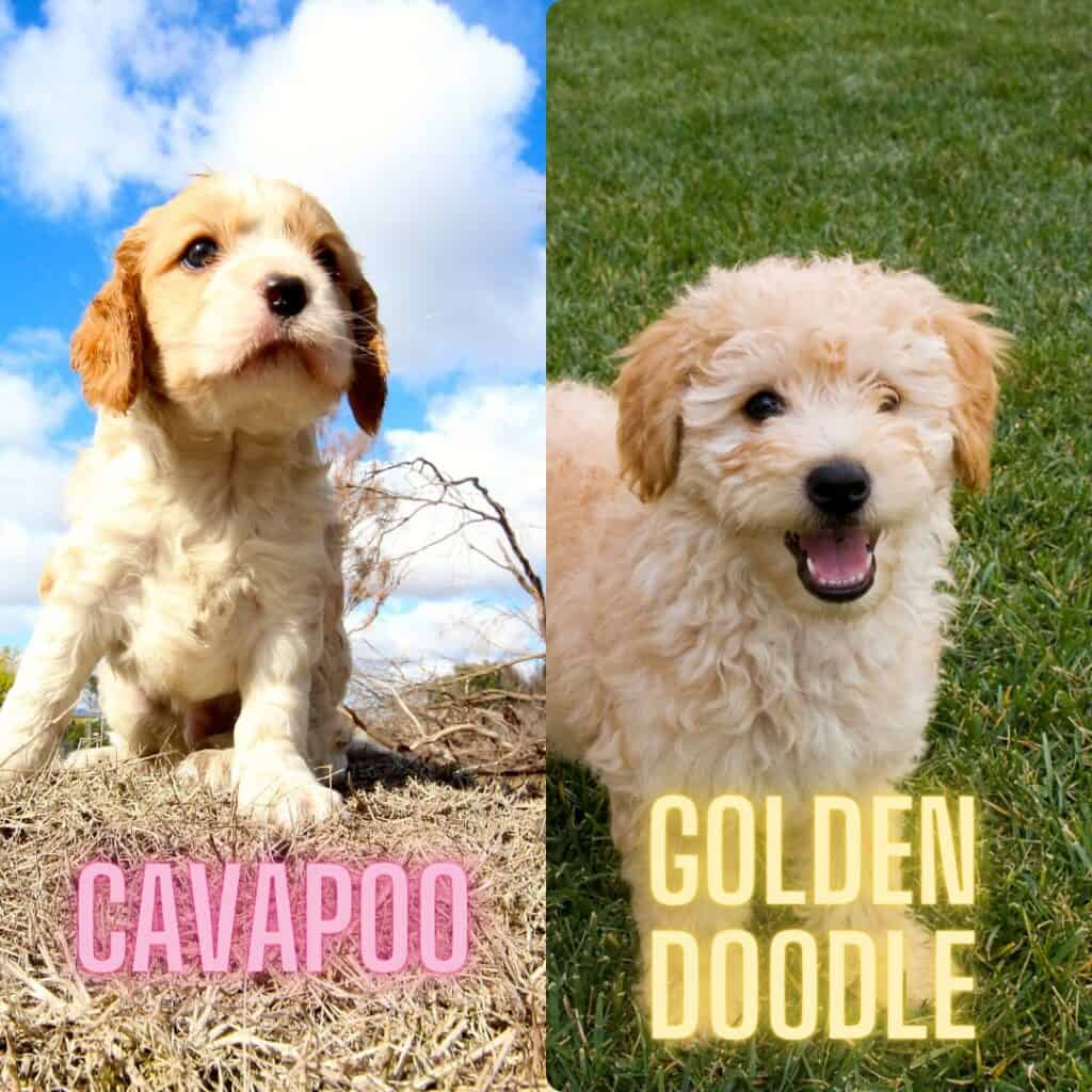 cavapoo vs goldendoodle appearance side by side