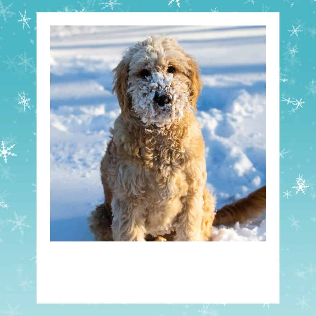 goldendoodle sitting in snow
