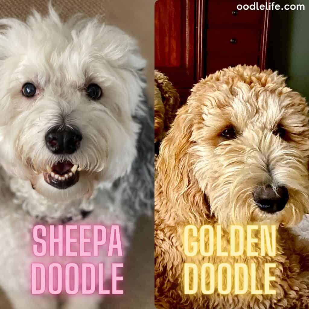 goldendoodle and sheepadoodle size comparison
