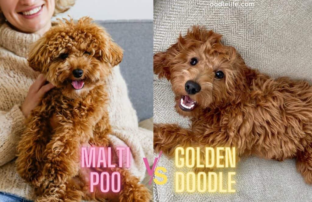 maltipoo vs goldendoodle appearance