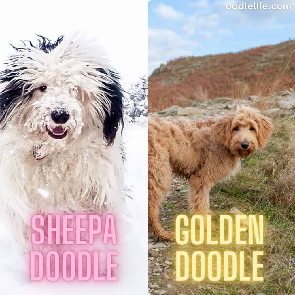 goldendoodle and sheepadoodle in nature