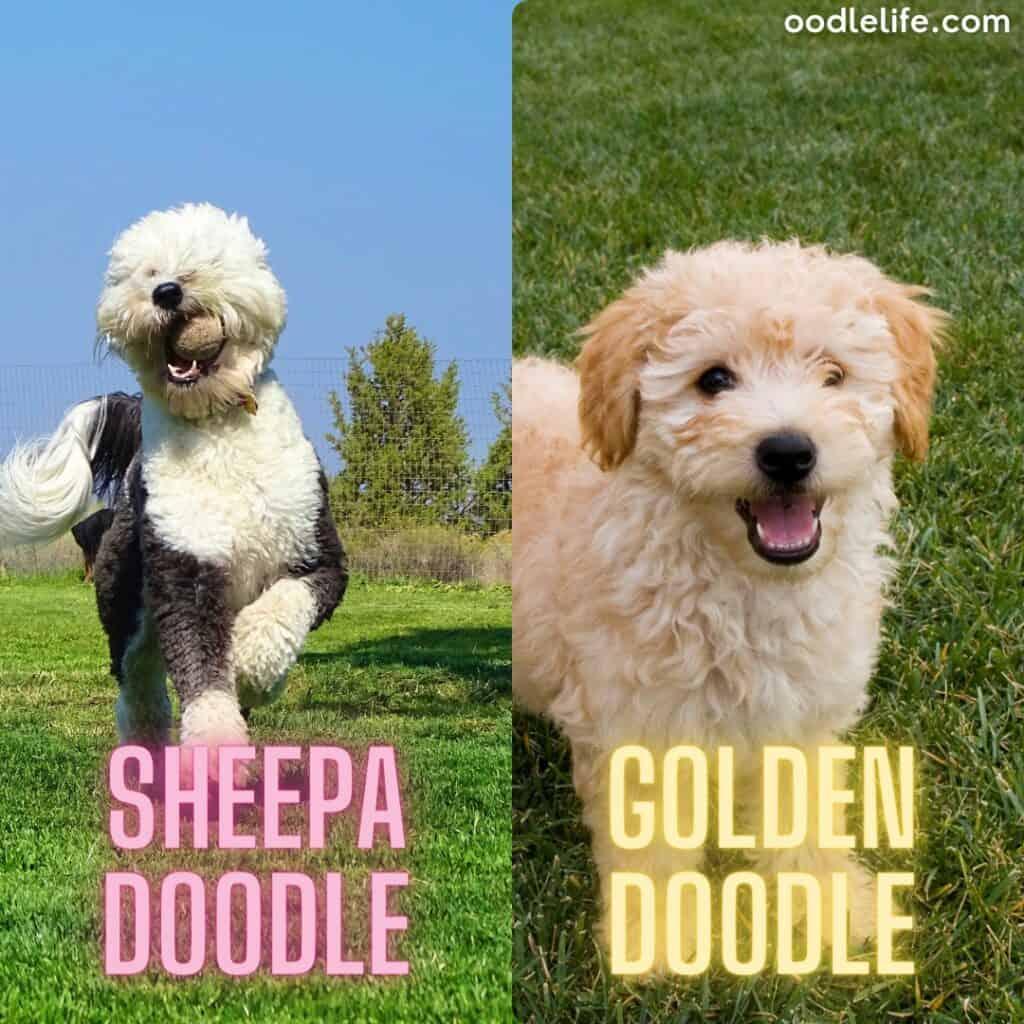 groodle vs sheepadoodle
