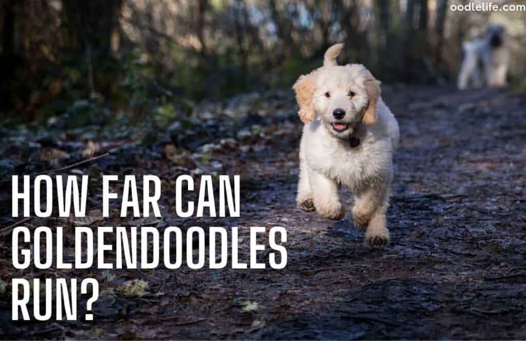 how far can Goldendoodles run a white goldendoodle running off leash