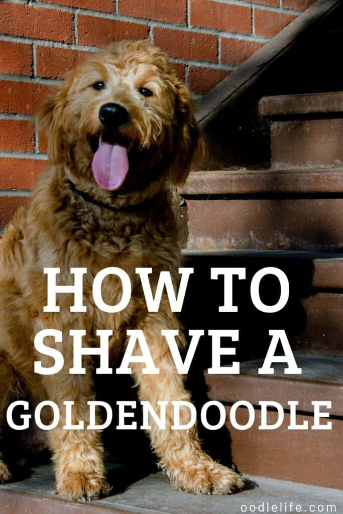 how to shave a goldendoodle