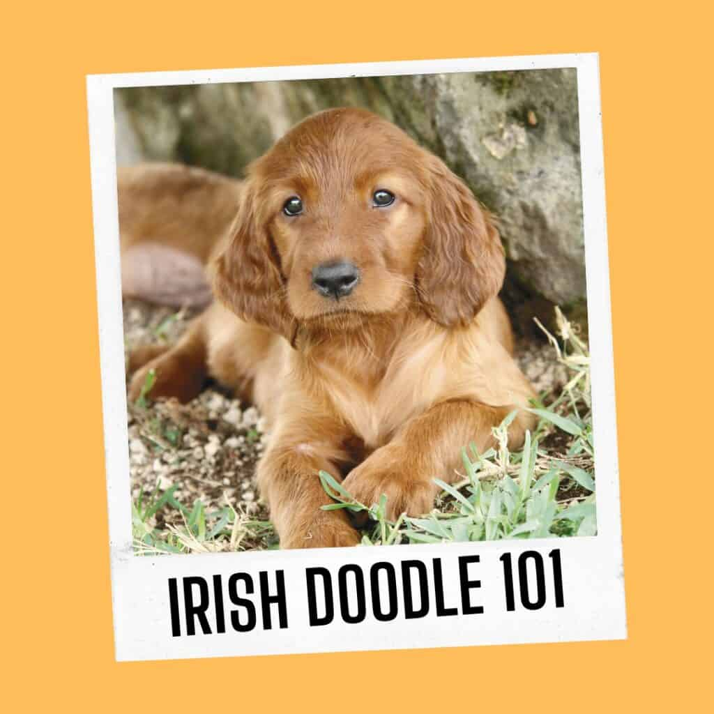 irish doodle 101 - facts and images