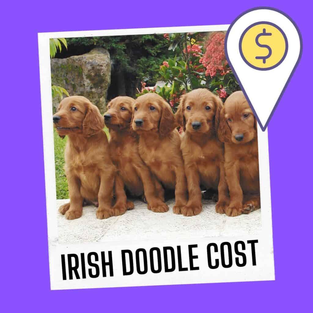 irish doodle cost puppy price